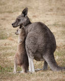 Mom and baby kangaroo Stock Images