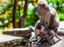 Mom and baby macaque royalty free stock photography