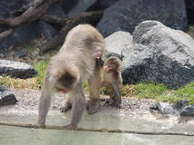 Mom and baby monkey Royalty Free Stock Photo
