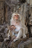 Mom and baby monkeys, breast-feed Stock Image