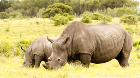 Mom and Baby Rhino grazing in the field Stock Photography