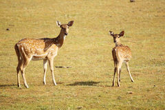 Mom and baby spotted deer Royalty Free Stock Photo