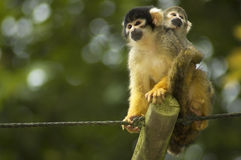 Mom And Baby Squirrel Monkeys. A mom and baby squirrel monkeys sitting and looking stock image