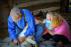 Mom and Baby watch Sheep Shearer. A mom and baby watch a sheep being sheared by hand the old fashioned way at a demonstration at Old World Wisconsin in Eagle, WI Royalty Free Stock Photos