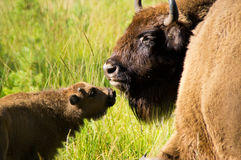 Mom bison with cub. Stock Photos