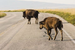 Mom Bison and Her Calf Crossing Road Royalty Free Stock Photo