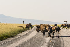 Mom Bison and Her Calf Crossing Road with other bison Stock Images
