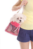 Mom carrying pooch in purse. Isolated on a white background Stock Images