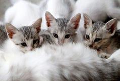 Mom cat feeding three kittens royalty free stock photos