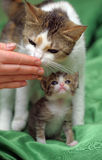 Mom cat with a kitten Royalty Free Stock Photography