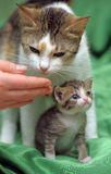 Mom cat with a kitten Stock Images