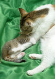 Mom cat with a kitten Royalty Free Stock Images