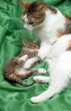 Mom cat with a kitten Stock Photos
