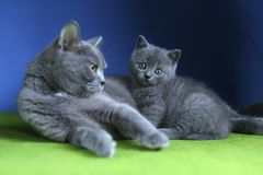 British Shorthair mother cat and kitten, isolated portrait. Mom cat and kitten isolated portrait on a blue background, green floor royalty free stock photography
