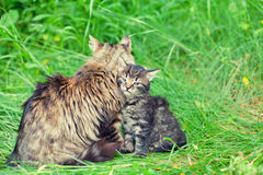 Mom cat with little kitten Royalty Free Stock Photography