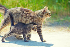 Mom cat and little kitten Stock Images