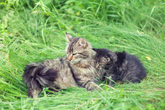 Mom cat with lttle kitten Stock Images