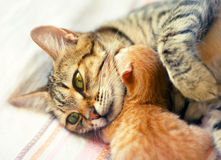 Mom cat and newborn kitten Royalty Free Stock Image