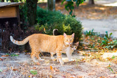 Mom cat walking with little kitten Royalty Free Stock Photography