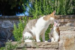 Mom cat washes and licks her little kitten tongue. In summer sunny day on the background of nature royalty free stock image