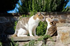 Mom cat washes and licks her little kitten tongue royalty free stock image