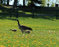 Mom and 2 chicks. A mother Canada Goose with 2 chicks in a dandelion field Stock Photography