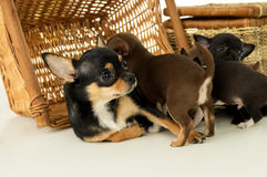 Mom Chihuahua puppy lies Royalty Free Stock Images