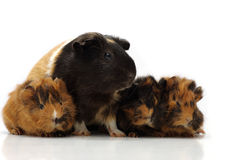 Mom and the children. Small guinea pigs with its mom against the white background Stock Photos