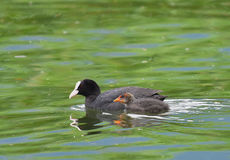 Mom and coot chick swimming Royalty Free Stock Photography