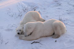 Mom And Cub Polar Bear. A mom and cub polar bear resting in the snow  early morning Royalty Free Stock Image