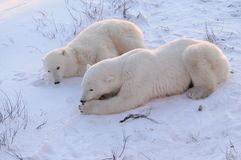 Mom And Cub Polar Bear. A mom and cub polar bear resting in the snow  early morning Royalty Free Stock Photography