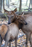 Mom and daughter elk Stock Photo