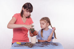 Mom and daughter flower transplanted from one pot to another Royalty Free Stock Image