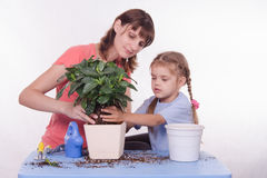 Mom and daughter flower transplanted from pot to other Royalty Free Stock Images