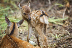 Mom deer and Fawn, focus on fawns eye Stock Images