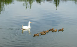 Mom duck with the ducklings. 2 Royalty Free Stock Photo