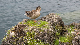 Mom duck and her babys in  lake garda. Royalty Free Stock Images