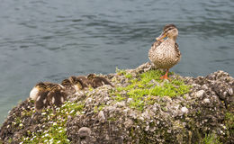 Mom duck and her babys in  lake garda. Royalty Free Stock Image