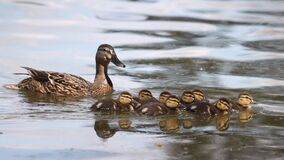 Mom duck swimming on a river with baby ducklings