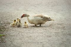Mom Duck teaching the kids Stock Photography