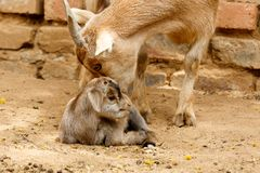 Mom dwarf goat leaking her baby. After giving birth royalty free stock photography