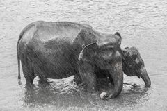 Mom Elephant with Baby in the rain in Sri Lanka stock image