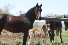 Mom and Foal Royalty Free Stock Photos