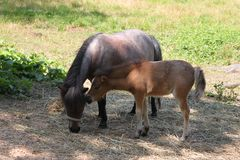 Mom and foal miniature horse Royalty Free Stock Photography