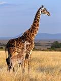 Mom giraffe and her baby in savanna stock image