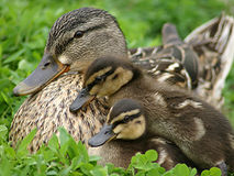 Mom and her Babies. Momma Duck and her ducklings Stock Photography