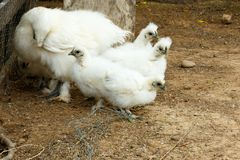 Mom and her baby Chickens bundling together. In a corner royalty free stock photography