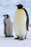 Mom and her chick. Emperor penguin Stock Photos