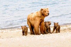 Mom and Her Cubs. A mom with her four cubs on the beach Royalty Free Stock Photos