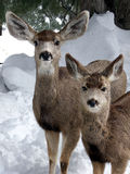 Mom and Me. Doe and her yearling Mule Deer in mid winter stock photos
